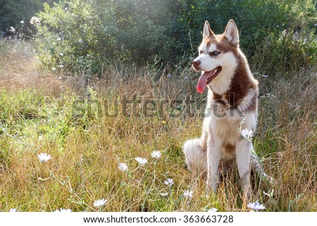 Siberian Husky with blue eye at the summer park - stock photo