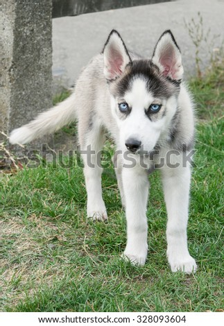 Siberian Husky with blue eye lying on the green lawn in the park.