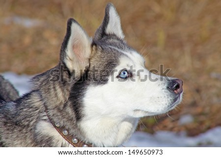 Siberian Husky with blue eyes portret