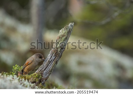 Siberian jay pecking a little tree stump