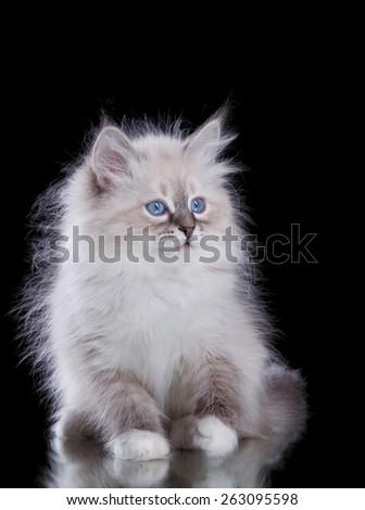Siberian Kitten isolated on black - stock photo
