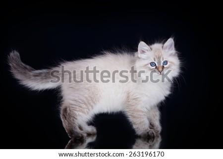 Siberian kitten on black - stock photo
