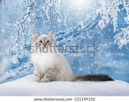 Siberian kitten on nature in snow, winter fairy tale