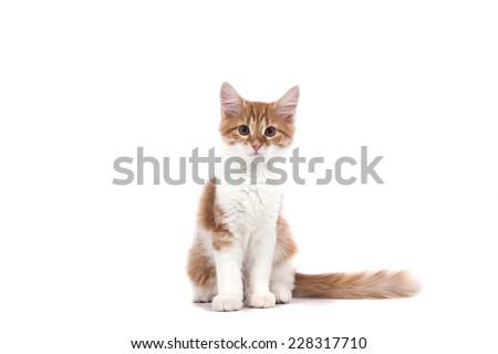 Siberian kitten on white background. Cat sitting. - stock photo
