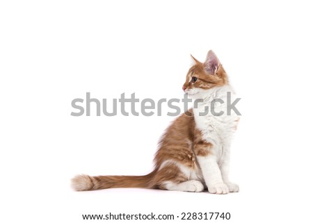 Siberian kitten on white background. Cat sitting. - stock photo