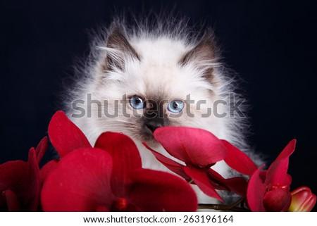 Siberian kitten with orchid - stock photo
