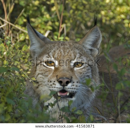 Siberian Lynx (Lynx lynx) peeks  through the bushes.  The largest of the lynxes, the ear tufts are clearly visible in this view.