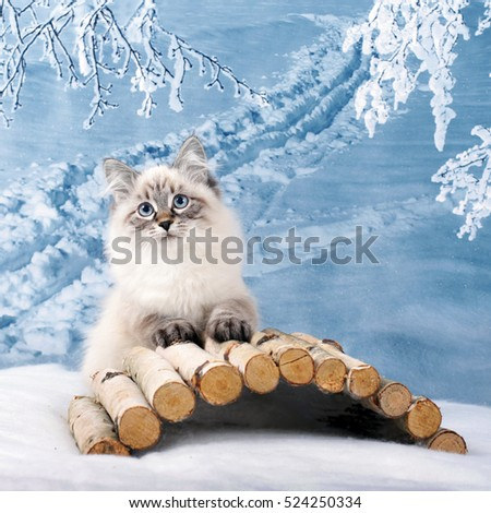 Siberian Neva kitten on winter nature in snow