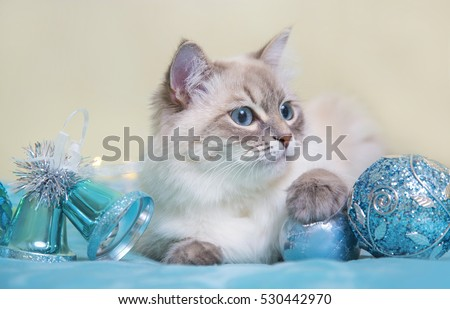 Siberian Neva masquerade cat on blue Christmas background