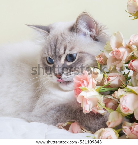 Siberian Neva masquerade cat with roses on light yellow  background
