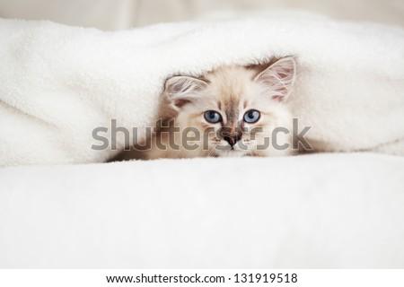 Siberian Neva Masquerade kitten lying on a soft bad - stock photo