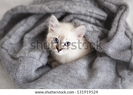 Siberian Neva Masquerade kitten lying on a soft bad - stock photo