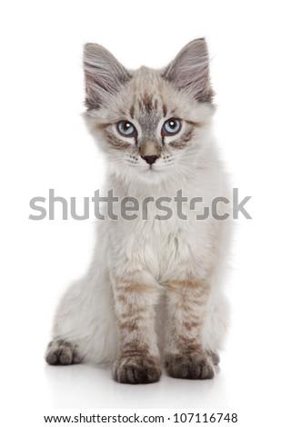Siberian (Neva Masquerade) kitten on a white background - stock photo