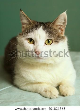siberian northern cat close up photo - stock photo