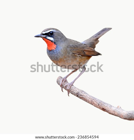 Siberian Rubythroat bird (luscinia Sibilans) perching on a branch on white background