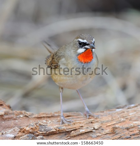 Siberian Rubythroat (male bird) stand On the timber