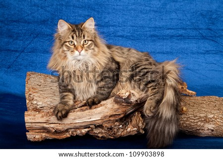 Siberian Russian Forest Cat on branch log on blue background - stock photo