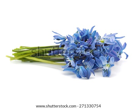 Siberian squill or Scilla siberica on a white background     - stock photo