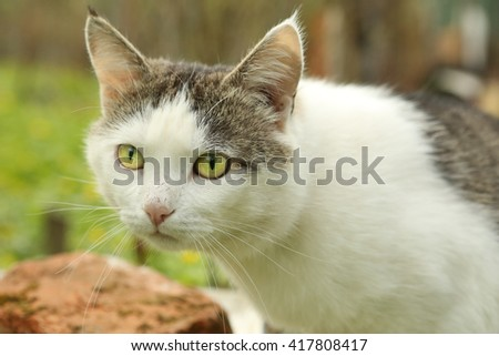 siberian stray tom cat hunting close up portrait on the green garden background