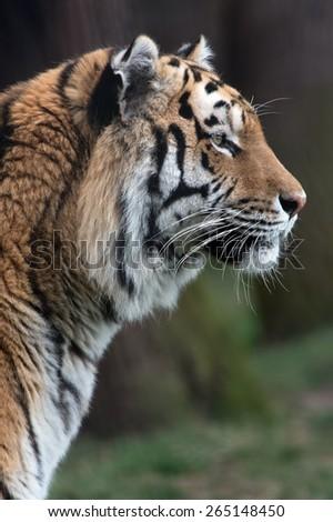 Siberian Tiger against a background of dark tree trunks/Amur Tiger/Siberian Tiger (Panthera Tigris Altaica) - stock photo