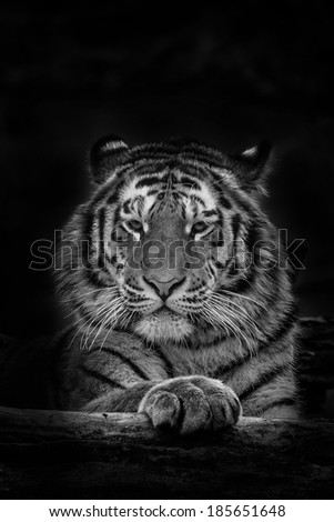 Siberian Tiger black and white contrast - stock photo