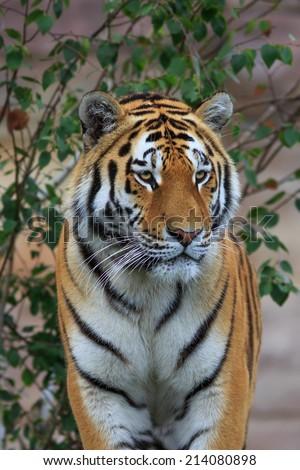 Siberian tiger close up - stock photo
