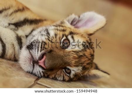 Siberian tiger cub is lying - stock photo