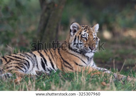 Siberian Tiger Cub resting on forest floor/Amur Tiger Cub/Siberian Tiger Cub(Panthera Tigris Altaica) - stock photo