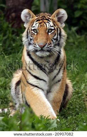 Siberian Tiger Cub sitting and staring at the camera. - stock photo