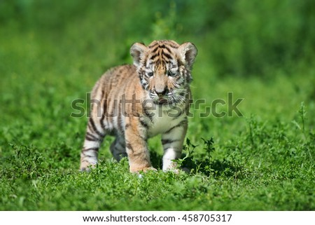 siberian tiger cub standing outdoors