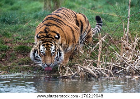 Siberian Tiger drinking from a river/Siberian Tiger Drinking/Siberian Tiger Drinking - stock photo