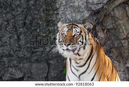 Siberian Tiger in a zoo - stock photo