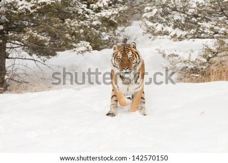 Siberian Tiger in Snow - stock photo