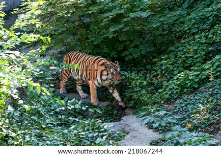Siberian tiger in the jungle - stock photo