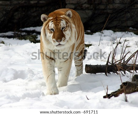 Siberian Tiger In The Snow - stock photo
