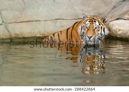 Siberian tiger in the water - stock photo