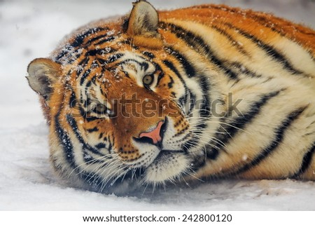 Siberian tiger indulges in the snow - stock photo