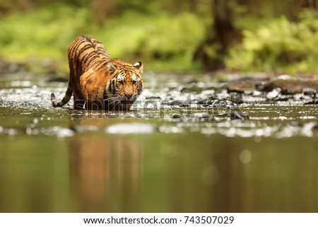 stock-photo-siberian-tiger-is-drink-from