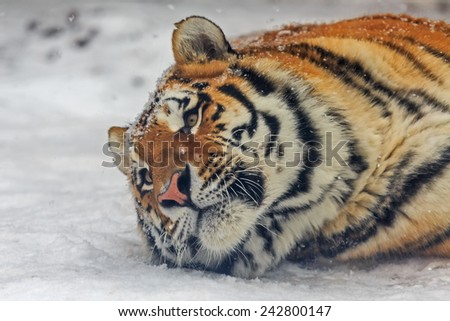 Siberian tiger is lying in the snow