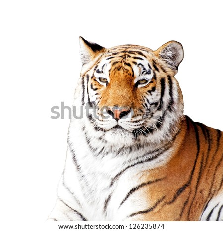 Siberian tiger isolated on the white background