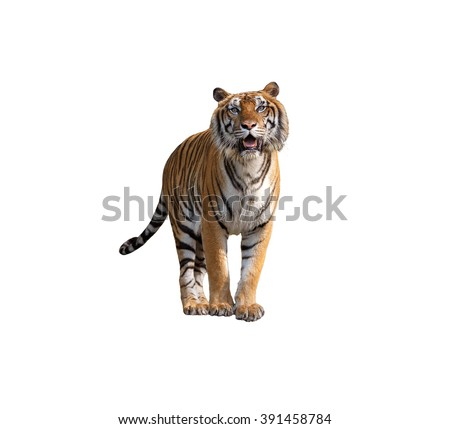 Siberian tiger isolated on white with clipping path - stock photo