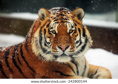 Siberian tiger look at us - stock photo
