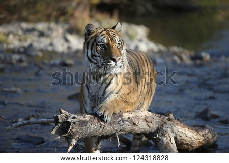 Siberian Tiger near Mountain Stream - stock photo