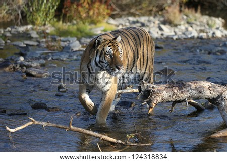 Siberian Tiger near Mountain Stream