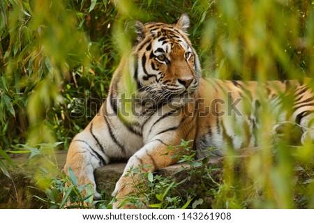 Siberian tiger (Panthera tigris altaica)  - stock photo