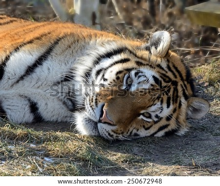 Siberian Tiger (Panthera tigris altaica) - stock photo