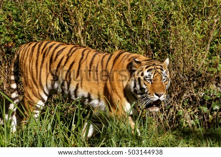 Siberian tiger (Panthera tigris altaica), also known as the Amur tiger, is a tiger subspecies inhabiting mainly the Sikhote Alin mountain region.