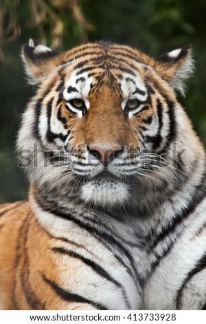 Siberian tiger (Panthera tigris altaica), also known as the Amur tiger. Wild life animal.  - stock photo