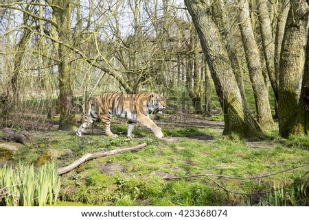 Siberian tiger (Panthera tigris altaica) patrolling along a riverbank  in an English Zoo. - stock photo