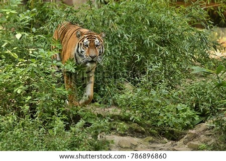Siberian tiger, Panthera tigris altaica, posing directly in front of the photographer.
